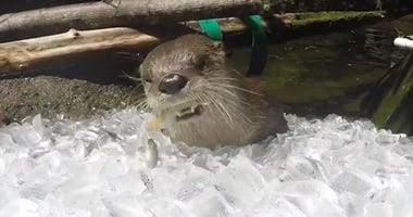 Watch These Otters Beat the Heat with Some Tasty Frozen Treats