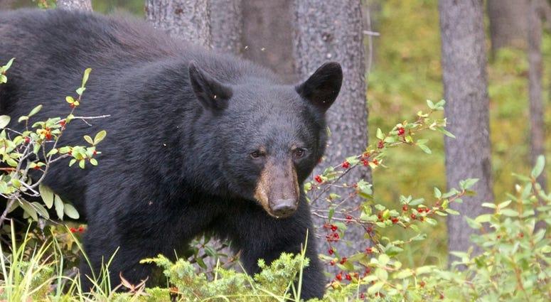FILE PHOTO: Black Bear