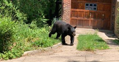 Black Bear in Highland Park