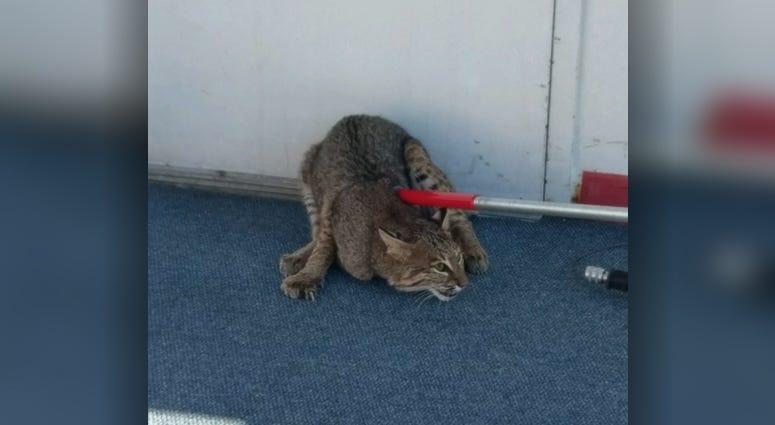 Bobcat on the Gateway Clipper