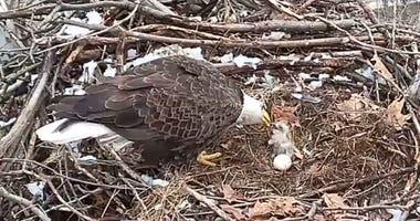 Hamar Baby Eaglet