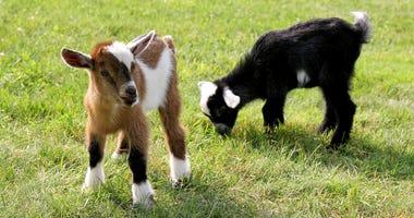 Baby Goats Grazing