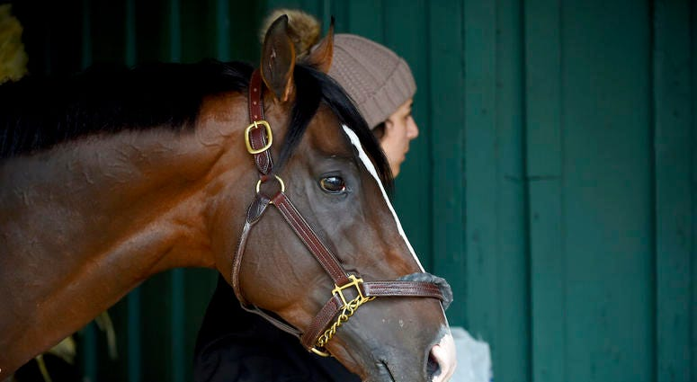 Preakness contender War of Will is led through the barn, Tuesday, May 14, 2019, at Pimlico Race Course in Baltimore. The Preakness Stakes horse race is scheduled to take place Saturday, May 18.