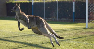 Kangaroo Interrupts Women's Premier League