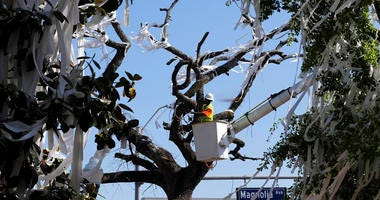 a man works to cut down the poisoned oak trees at Toomer's Corner at the entrance to Auburn University