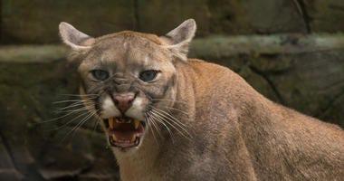 puma cougar angry Snarling