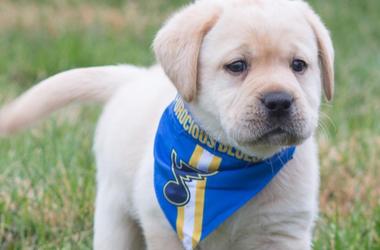 St. Louis Blues Puppy