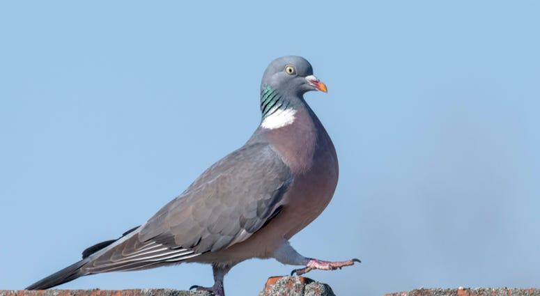 dgs maga pigeon