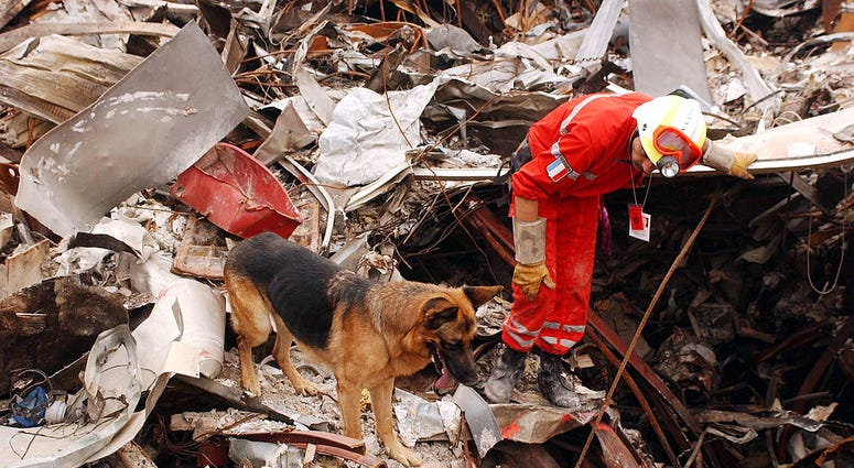 A member of the French Urban Search and Rescue Task Force works with his Alsatian to uncover survivors at the site of the collapsed world Trade Center September 24, 2001 New York City, NY.