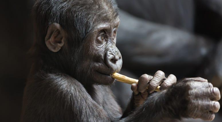 dgs gorilla