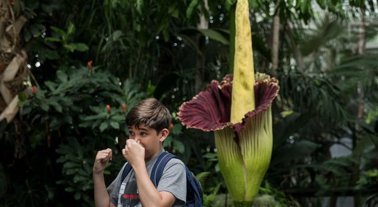 Smelly Corpse Flower At Missouri Botanical Garden Will Not Bloom As Expected Fm Newstalk 97 1