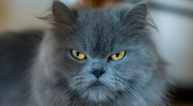 angry cat dgs
