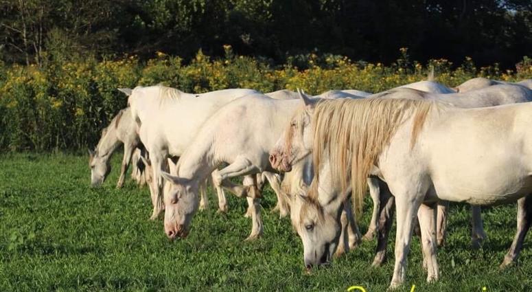 Wild horses in Missouri