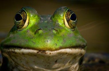 Frog Ears