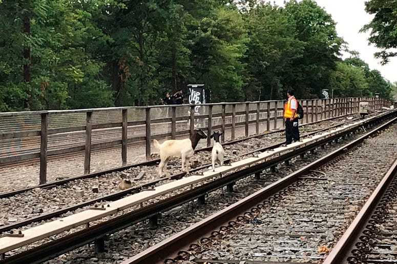 Goats stand on the subway tracks in the Brooklyn borough of New York.