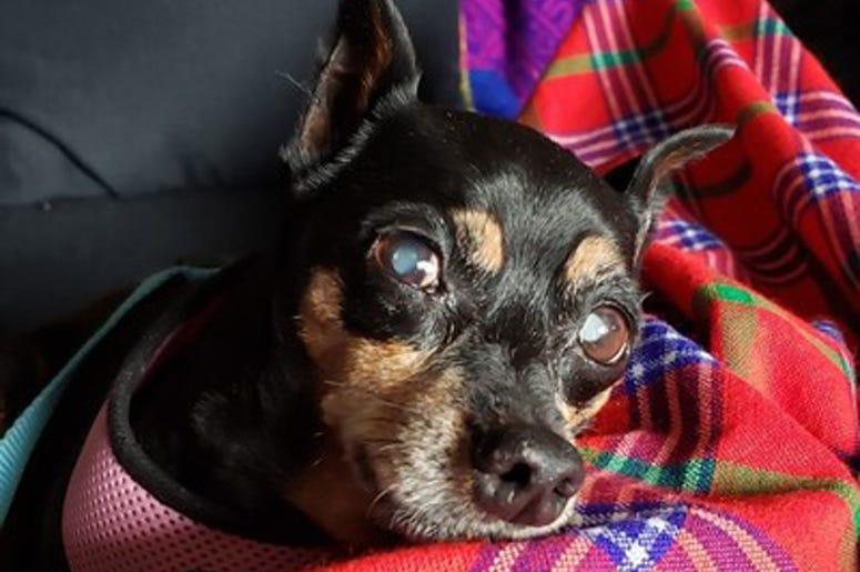 'Clever' (Photo credit: Muttville Senior Dog Rescue)