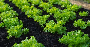 lettuce in the ground