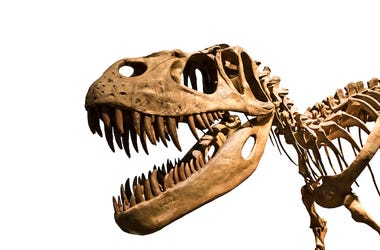 Tyrannosaurus Rex, T-Rex, Skeleton, Skull, Fossil