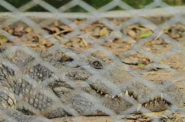 Alligator, Crocodile, Chain Link Fence, Ground