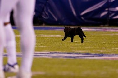 Black Cat on the football field