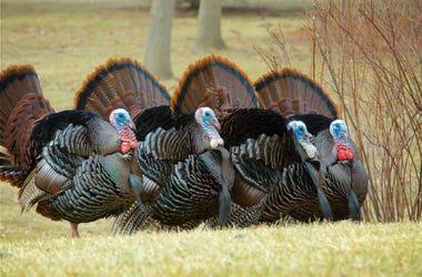Wild_Turkeys