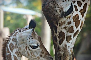 Baby Giraffe Named Witten