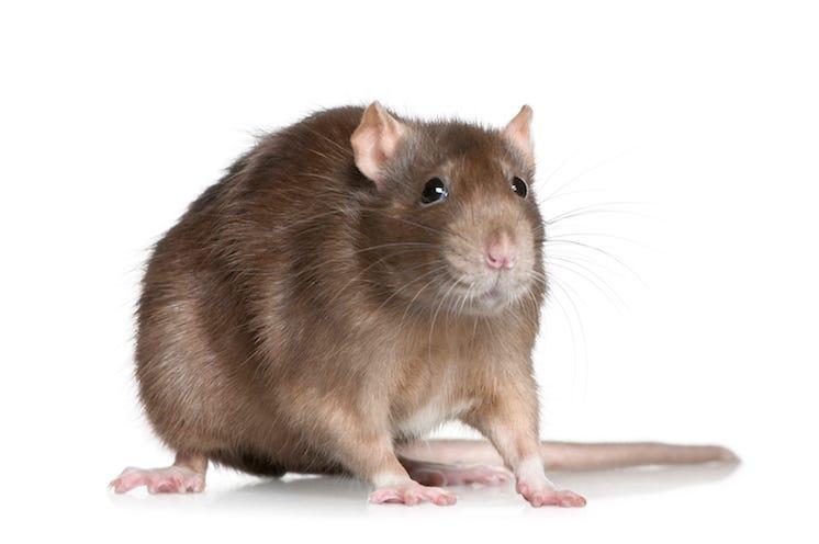 Rat, Isolated, White Background