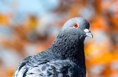 Pigeon, Rock Dove, Bird, Orange Eyes