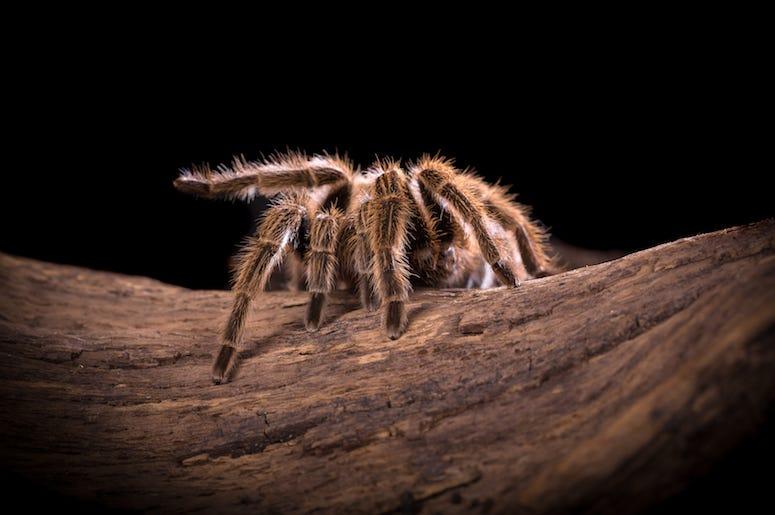 Tarantula, Spider, Branch