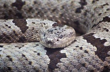 Banded Rock Rattlesnake