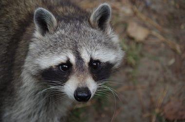 Raccoon, Face, Outdoors