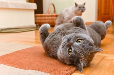 British Shorthair, Cats, Indoors, Playing, Cute