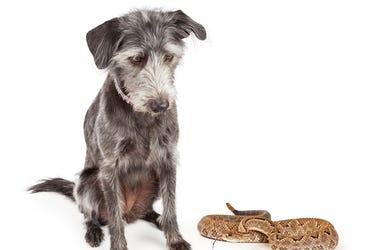 Dog, Rattlesnake
