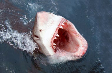 Shark, Great White, Bite, Attack, Teeth