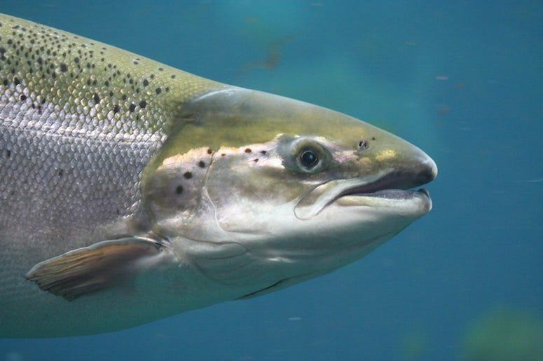 Salmon, Fish, Underwater