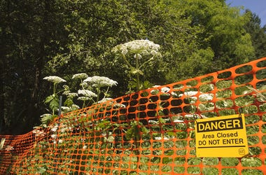 Giant Hogweed, Warning