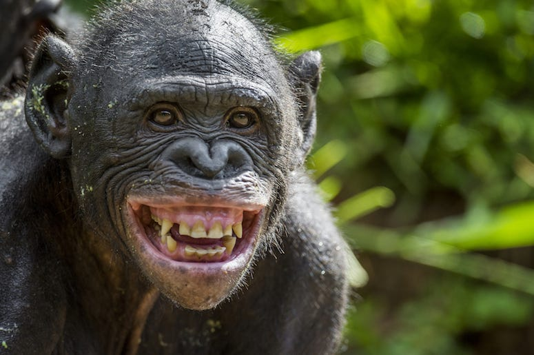 Chimp, Chimpanzee, Smile, Teeth