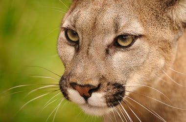 Mountain Lion, Big Kitty