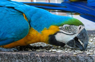 Blue Gold Macaw Parrot, Bird
