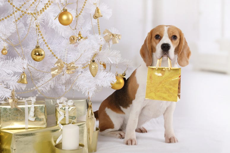 beagle with a package