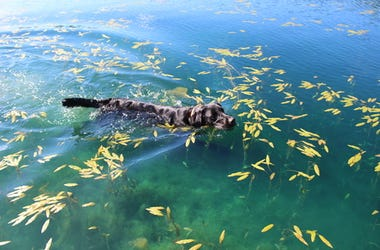 Black Labrador Swimming