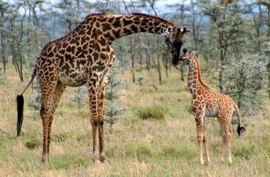 Mama And Calf Giraffe