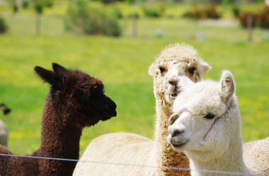 Alpacas on a farm