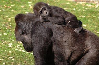 Baby Gorilla & Momma