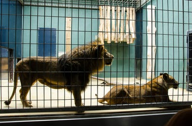 Big Cats in a cage