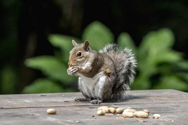 Squirrel with his peanuts