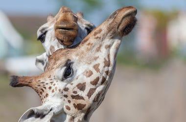 Giraffes, Hugging, Snouts, Zoo