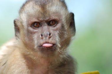 Monkey Dressed As A Little Girl