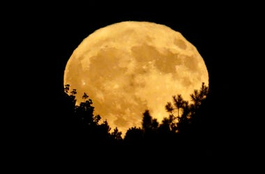 Golden harvest moon rising above tree tops