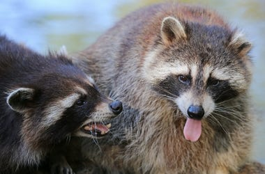 Raccoons,Ohio, Zombie,Distemper,March,April,2018,Animals,Disease,100.3 Jack FM